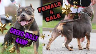American Bully female for sale 2k kentucky pocket bully gr.ch. el toro meets purple line