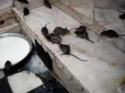 Karni Mata -Templo de las Ratas- India