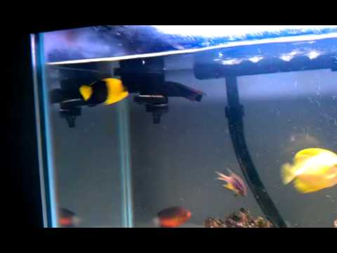 Bicolor Anglefish Care