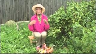 видео Листовая галловая тля