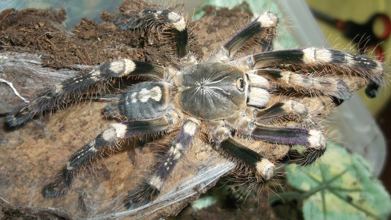 Awesome colors of The Ivory Ornamental Tarantula (Poecilotheria ...