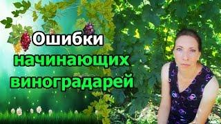 видео Виноград для начинающих: сорта, выращивание