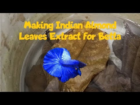 Making Indian Almond Leaves Extract For Betta