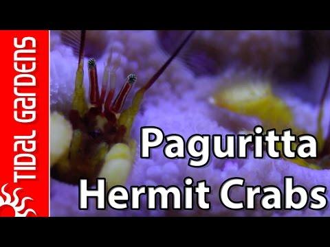 Astreopora Hermit Crabs Of The Genus Paguritta!