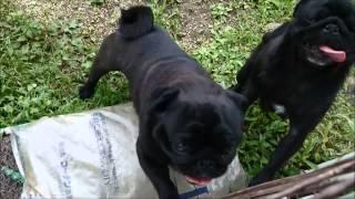 【犬ブリーダー 子犬販売(ハニーわん)】http://www.1honeywan.com/ 【...