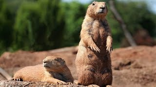 complications marmot super funny and smart - super fun video