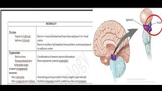Midbrain! Structures and Functions
