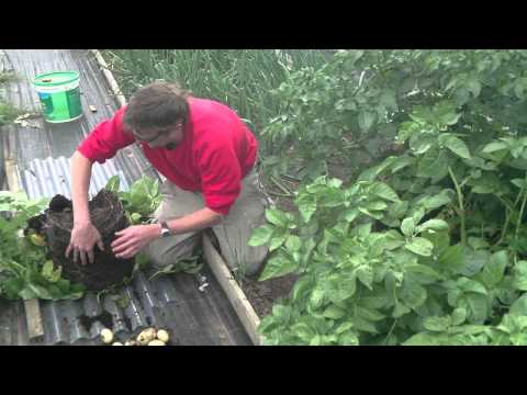 Container Pot Grown New Potatoes 1st Harvest Results What a yield