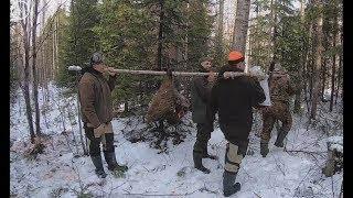 Охота на медведя с лайками май 2019 лайки забрали добычу у медведя