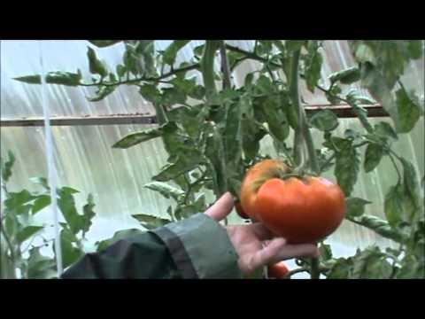 видео: Смешанные посадки в теплице  Брянская Людмила
