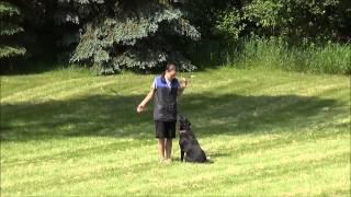 Kenzie (labrador Retriever) Dog Training Video Minneapolis
