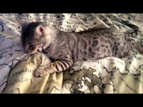 Bengal Cat Misty Daily Morning Foot Attack!