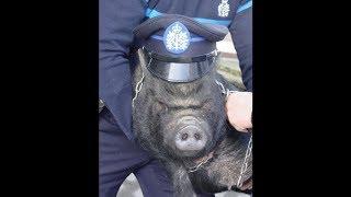 Смотреть Разведение свиней в СССР - Хазанов Геннадий онлайн