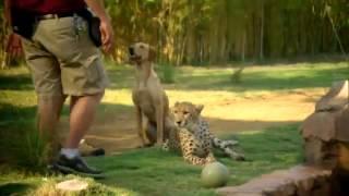 Семейство кошачьих   Леопарды