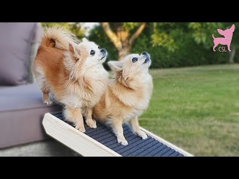 cute-chihuahuas-try-out-a-dog-ramp