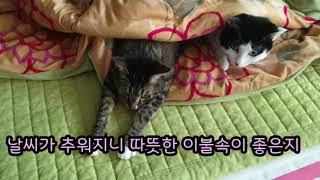 52.(복이와 제이) 따뜻한 이불속이 더 좋은 고양이들…