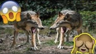 Wolves Video    Wolves Funny Video Moments    Wolves sounds    Animals plants   Funny Video 2021  