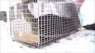 Feral Cat goes crazy! Stray Feral Cat Trapping Trap-Neuter-Return