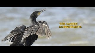 THE DARED CORMORANTS - Swedish Nature
