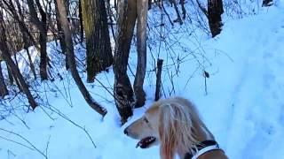 1歳半のれぴ(サルーキ)はいつもチャカチャカしています。 雪山トレッ...
