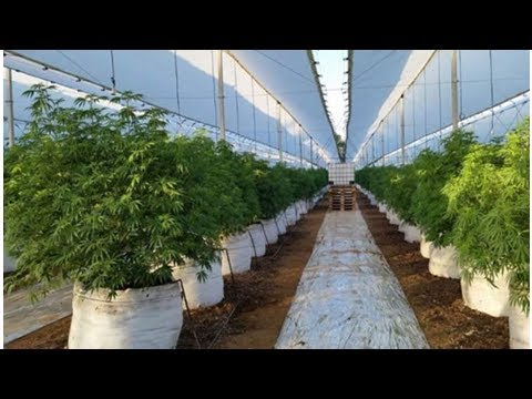 Auscann group shares rose after the green light for the export of medicinal cannabis