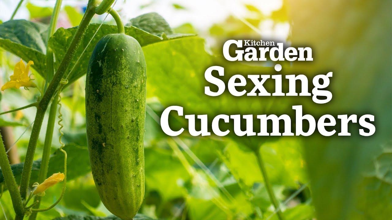 Cucumber sex