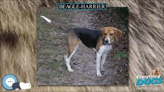 Beagle Harrier  Everything Dog Breeds