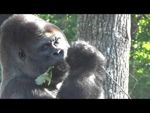 mâle gorille de la Vallée des Singes
