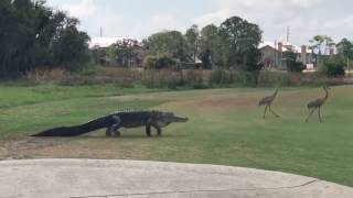 Gator Slowly Stalks Two Cranes Across Florida Golf Course