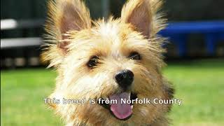 Norfolk Terrier is one of the most expensive dogs