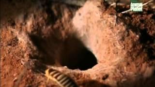 видео Гигантский тарантул