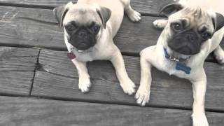 Training video - 12 week old Pugs