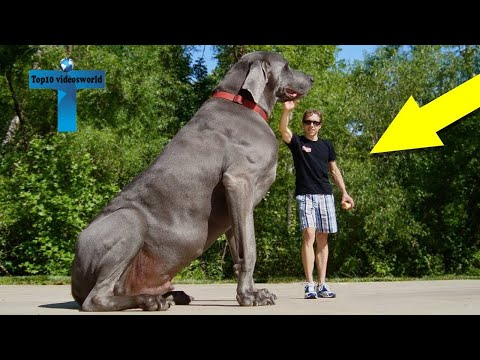 Top 12 Biggest Dogs In The World - World's Largest Dog Breeds