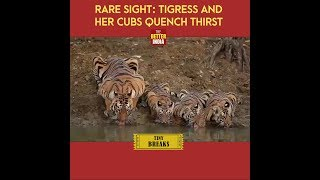 Rare Sight: Tigress And Her Cubs Quench Thirst