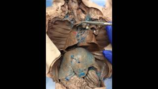 Respiratory system: fetal pig dissection