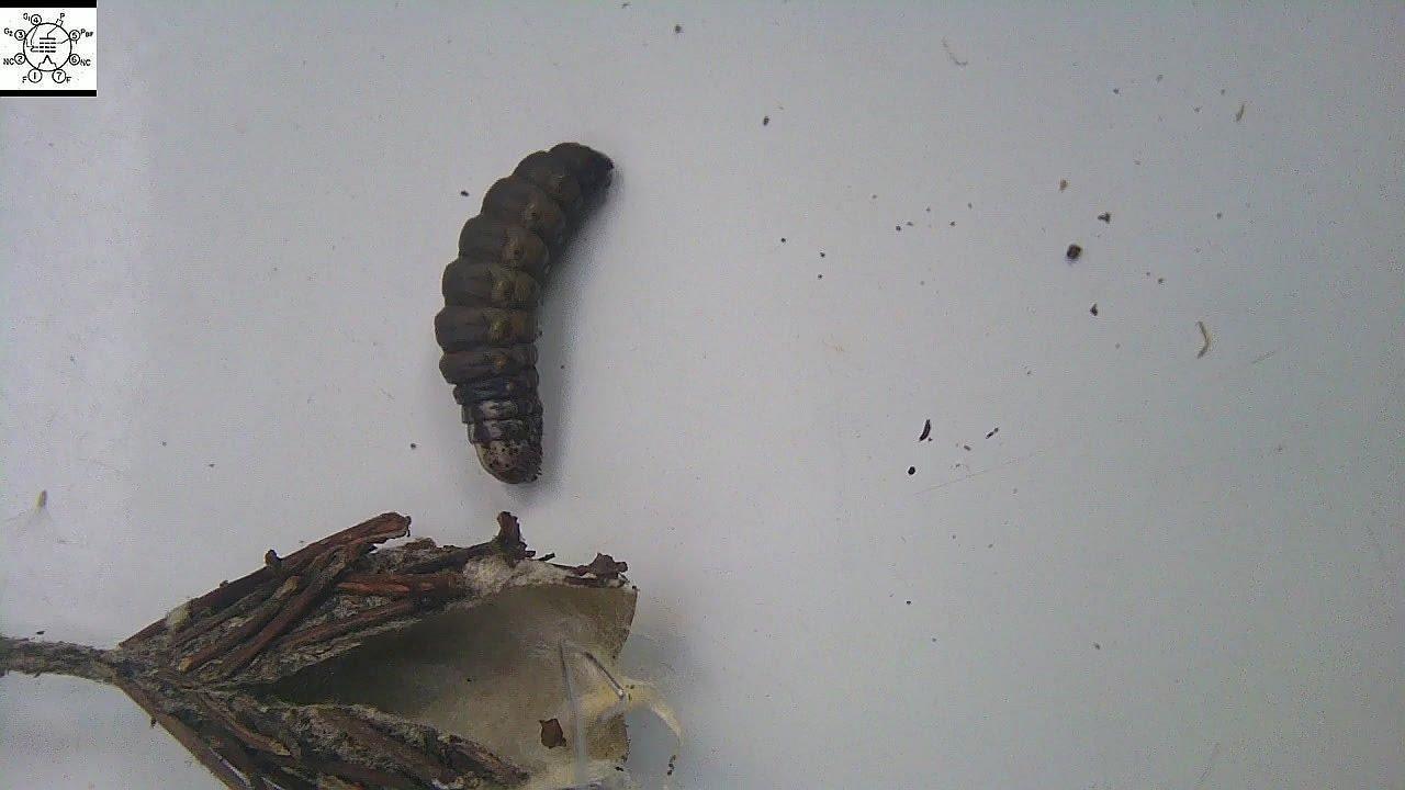 Evergreen Bagworm - Thyridopteryx ephemeraeformis