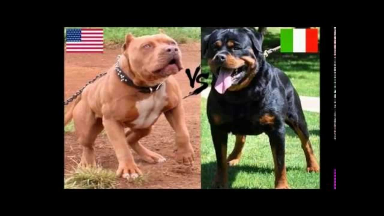 Pitbull Attack Vs Rotweiller Attack Youtube
