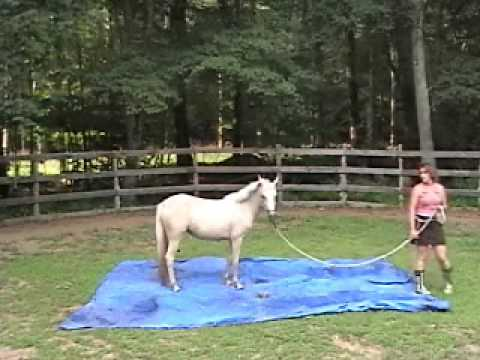 Dream Welara Sport Pony for sale in Rhode Island Palomino 13hh