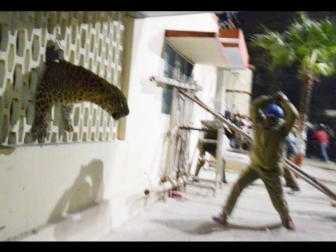 Meerut Leopard arrest