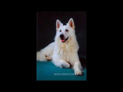 Berger Blanc Suisse   Video Learning   WizScience com
