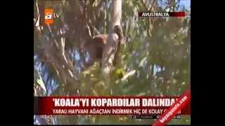 ATV Haber - Yaralı Koala
