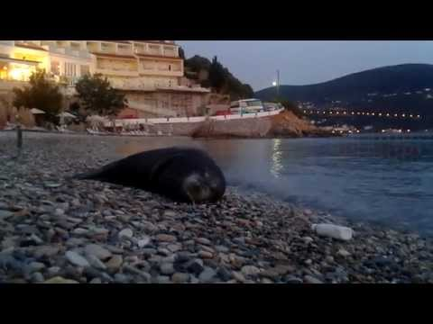 Samos island Gagou beach monachus monachus Argiro the seacalf is back and ready to sleep