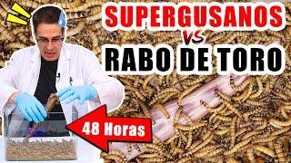 SUPERGUSANOS VS RABO DE TORO 48 horas | Experimentos con Mike