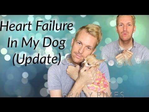 my-dog-has-congestive-heart-failure-chihuahua-(update-1)