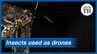 How insects are being used as drones for sensors