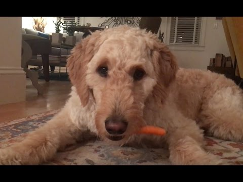 Dog Only Eats Peeled Carrots