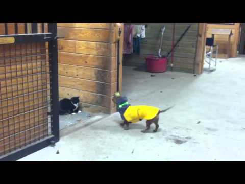 Ammo the Dachshund tries to play with cat
