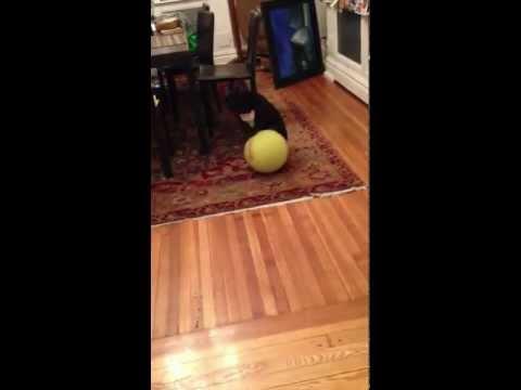 Momo the Circus dog!