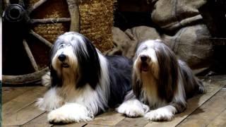Порода собак. Бородатый колли.  Умная и добрая шотландская пастушья собака