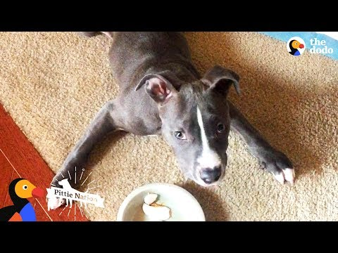 Pittie Puppy Is Pure Inspiration | The Dodo Pittie Nation